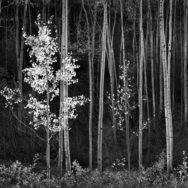 Ansel Adams, Aspens, Northern New Mexico, Horizontal Aspens, 1958.